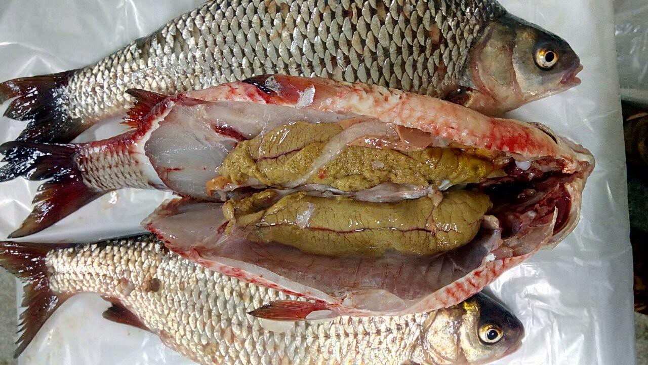 Рыба плотва с икрой